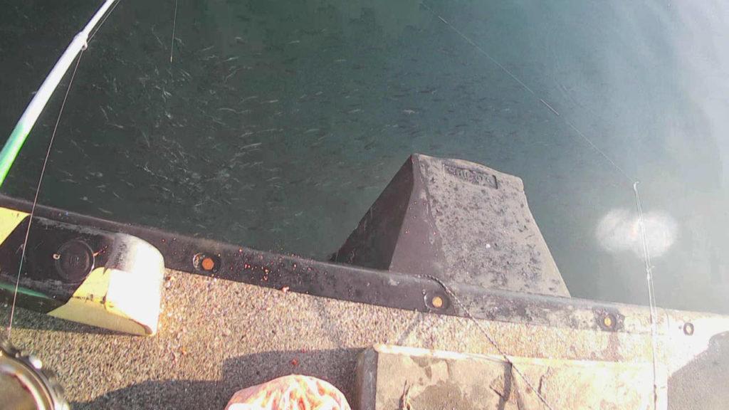 三崎港城ヶ島エリアでサビキ釣りしたら無限マイワシ!
