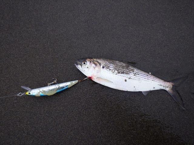 三浦半島のサーフでコノシロパターン!大型魚の青物ブリにランカーシーバスが大爆釣!