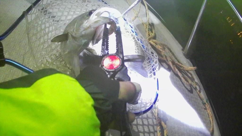 横浜ボートアジングでアジの巣発見!爆釣入れ食い!