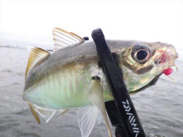 ゴールデンウィークの釣りは初心者でも大漁!GWは東京湾LTアジ船へ!