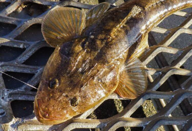 磯子海釣り施設で釣る!ハゼの泳がせでマゴチ釣り!