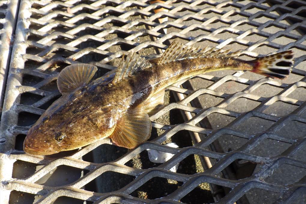 磯子海釣り施設でハゼの泳がせでマゴチ釣り!