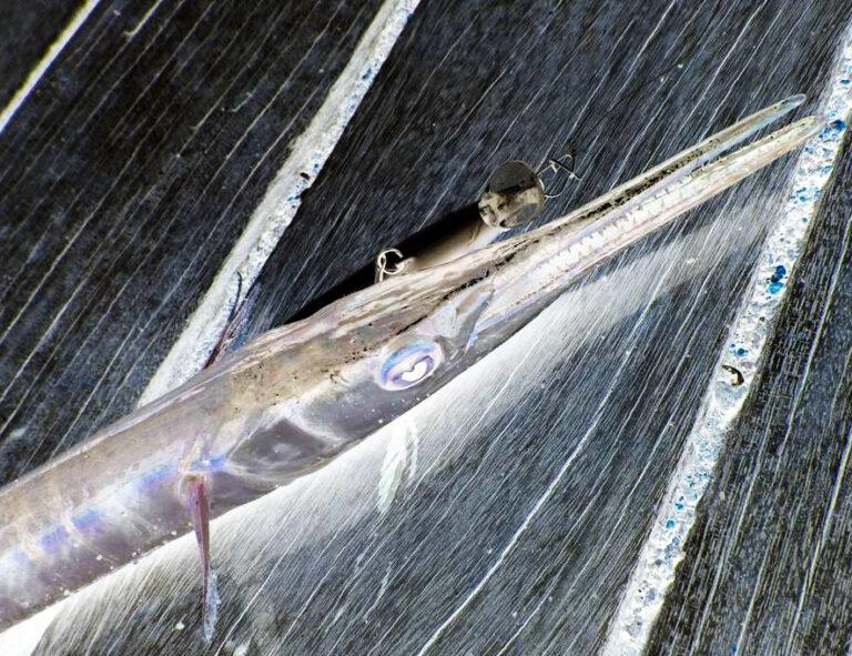 江ノ島のオリンピック記念公園で初釣果!サヨリング成功!?